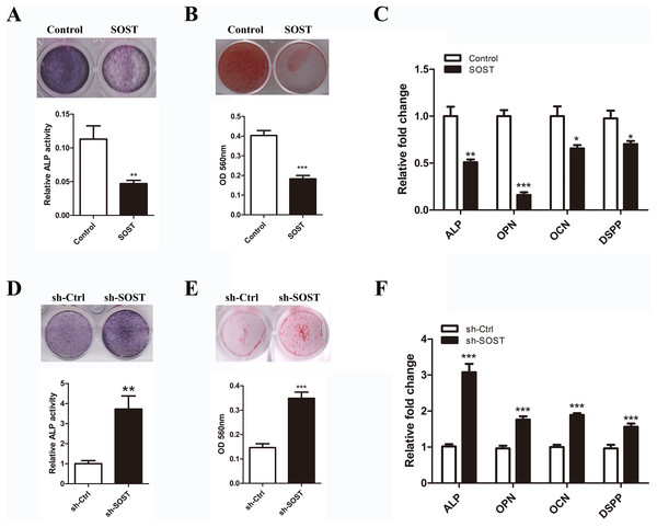 Effects of sclerostin on odontoblastic differentiation of HDPCs.