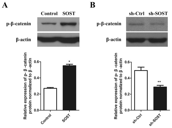 Effect of sclerostin on Wnt/β-catenin pathway.