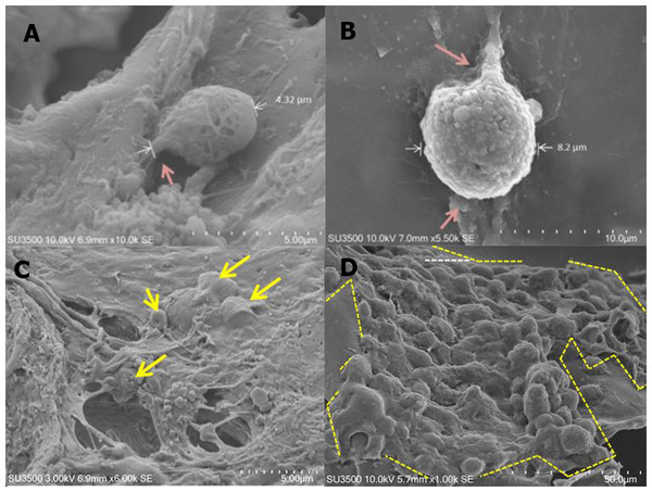 Morphology of ADSC on scaffold made from 12% w/v silk fibroin and had 500 µm pore size.