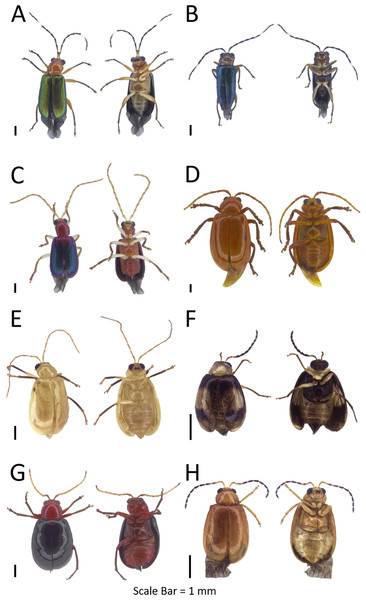 Dorsal and ventral habitus of leaf beetle species.