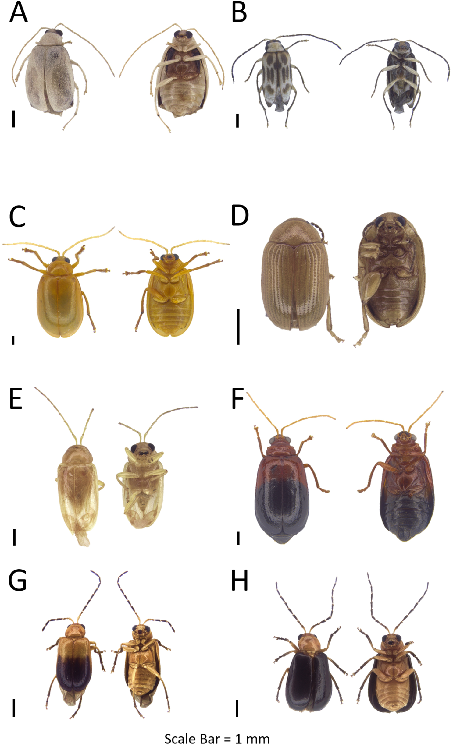 Investigating leaf beetles (Coleoptera, Chrysomelidae) on the west