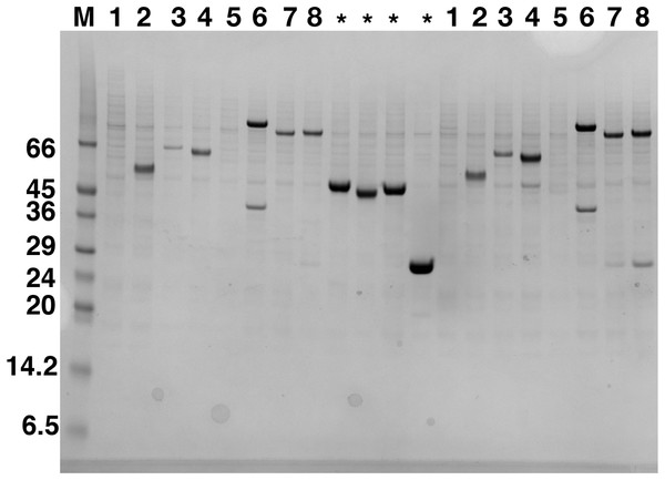 Western blot analysis of expression screening of C9orf72 in Sf9 cells.