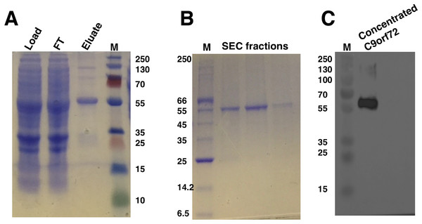 SDS–PAGE and western blot analysis of C9orf72 purification.