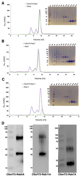 Complex formation of the Rab proteins with C9orf72, analyzed by size-exclusion chromatography.