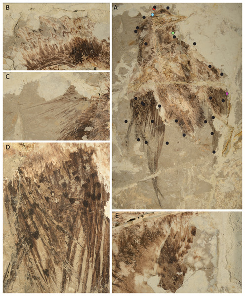 Evidence of plumage diversity in the Confuciusornithidae from the new specimen (CUGB P1401).