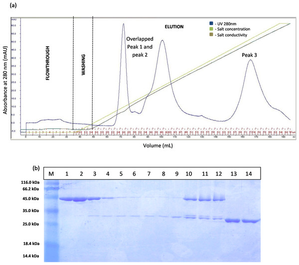Chromatogram profile of ion exchange chromatography for GST-T1 lipase and SDS–PAGE analysis on eluted proteins.