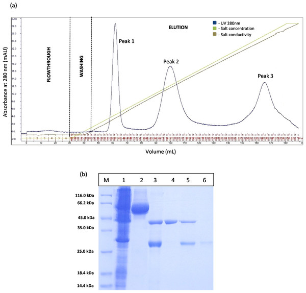 Chromatogram profile of ion exchange chromatography for GSTm-T1 lipase and SDS–PAGE analysis for eluted proteins.