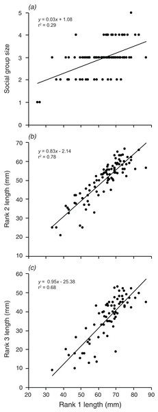 Relationships between the length of the rank 1 individual and (A) social group size, (B) rank 2 length, (C) rank 3 length.