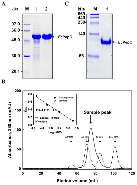 Gel electrophoresis and size-exclusion chromatography of the recombinant enzyme.