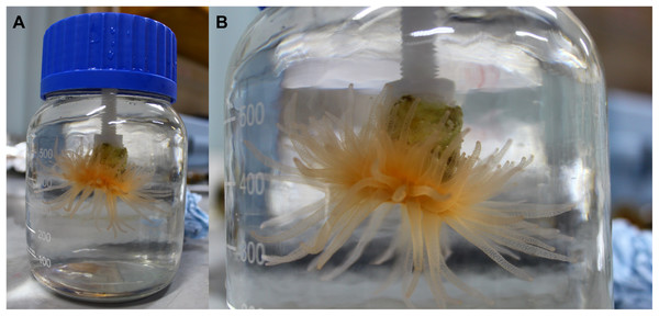 Coral in the laboratory at the end of an incubation.