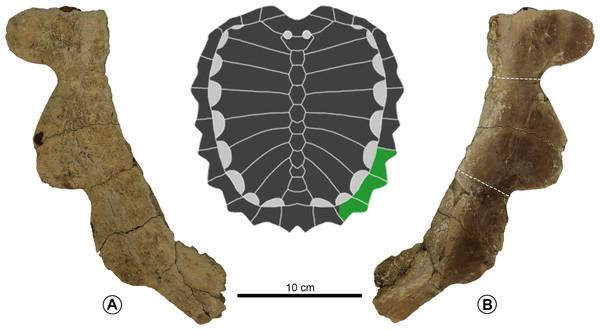 Prionochelys cf. nauta (ALMNH 6673) from the Demopolis Chalk of Alabama.