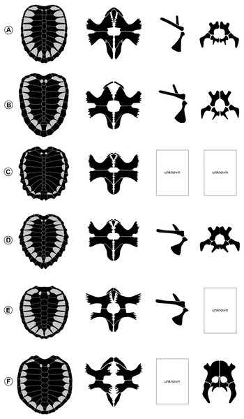 Carapace, plastron, shoulder girdle, and pelvis of ctenochelyid turtles in ventral view.