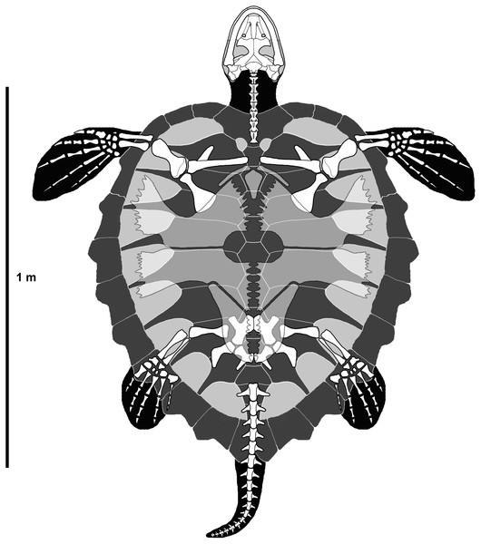 Reconstruction of P.matutina in ventral view.