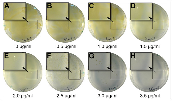 Incubation of P. tricornutum on plates containing different concentrations of blasticidin-S.