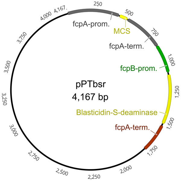 Plasmid map of the vector pPTbsr.