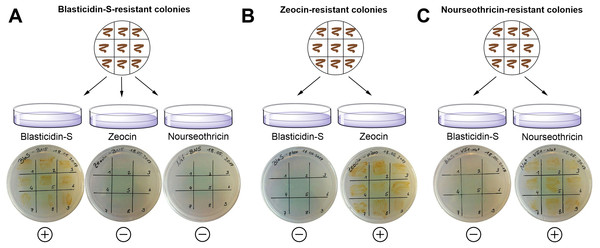 Exclusion of potential interference between different resistance genes using strains showing either Zeocin, nourseothricin or blasticidin-S resistance.