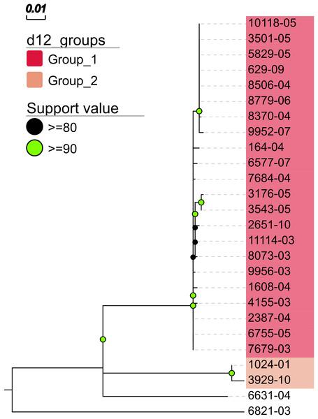 Maximum likelihood phylogenetic tree.