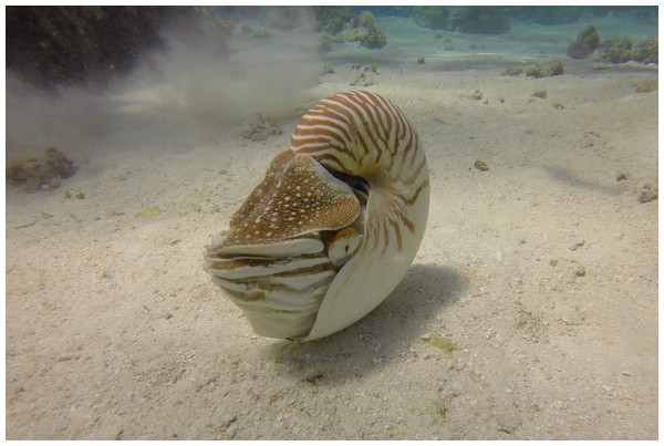 Modern Nautilus.