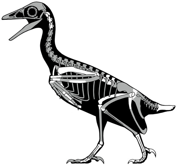 A skeletal reconstruction of Mirarce eatoni showing preserved skeletal elements (white).
