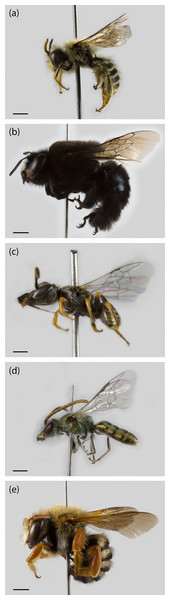 Specimens from the different native bee families collected during the study in Farellones, Chile.