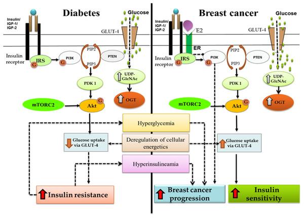 Crosstalk between diabetes and breast cancer.
