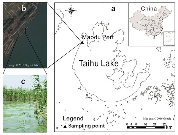 Location of the sampling sites, Google Maps of trenches, and accumulated cyanobacteria in aquatic macrophyte-belts in the western shoreline of Taihu Lake, China.