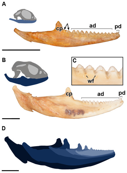 A comparative figure showing the external morphological differences in the dentition and mandibles between juvenile and adult specimens of P. vitticeps.