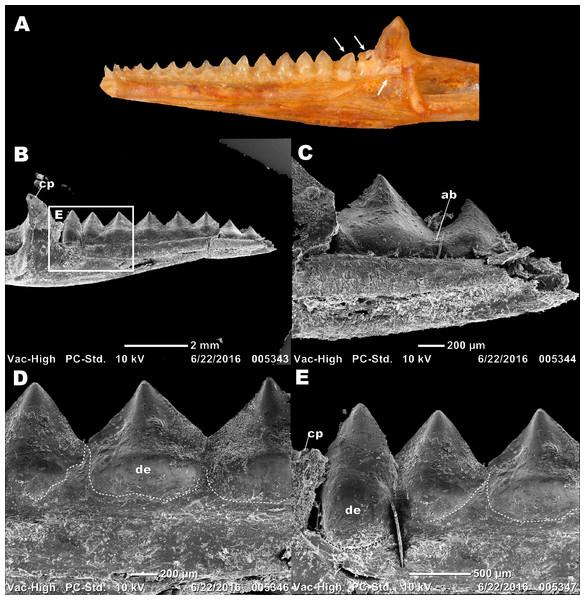 Details of external morphology of the juvenile dentition of P.vitticeps.