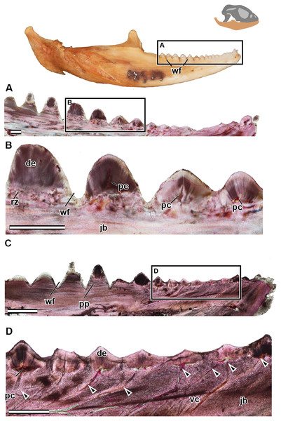 Longitudinal sections of adult mandible of P. vitticeps with a focus on tooth histology.