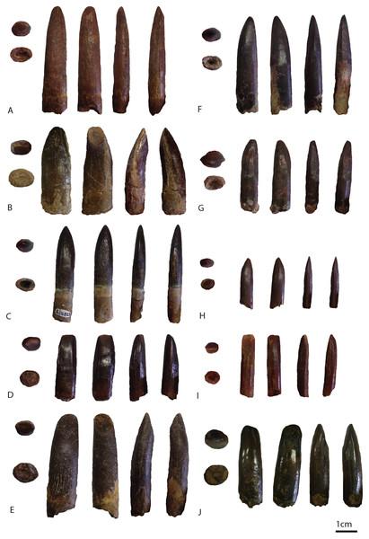 Images of PIMUZ A/III 0823a (A), PIMUZ A/III 0823b (B) PIMUZ A/III 0823c (C), PIMUZ A/III 0823d (D), PIMUZ A/III 0823e (E), PIMUZ A/III 0823f (F), PIMUZ A/III 0823g(G), PIMUZ A/III 0823 h (H), PIMUZ A/III 0823i (I), PIMUZ A/III 0823j (J).