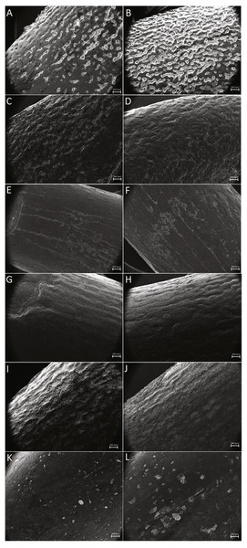 SEM pictures of enamel wrinkling.