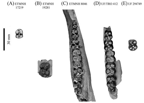 Lower dentition of Mylohyus elmorei.