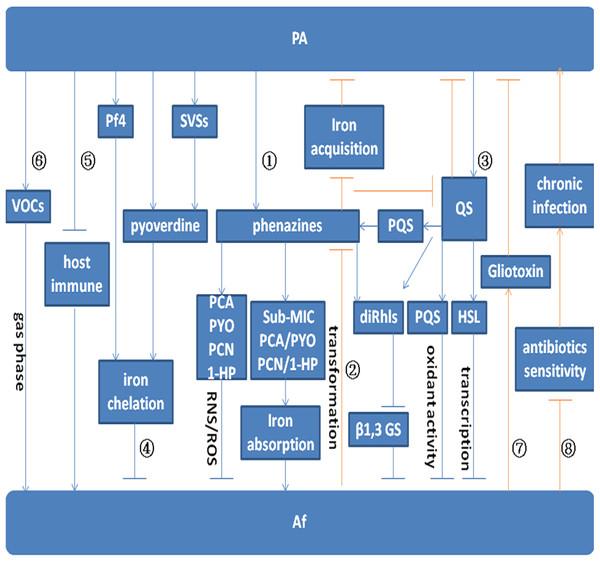 Model for the interaction between P. aeruginosa and A. fumigatus.