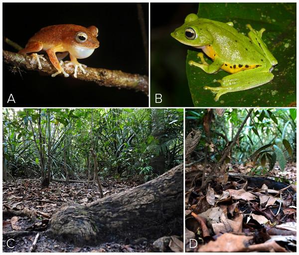 Habit and Habitat of M. myristicapalustris.