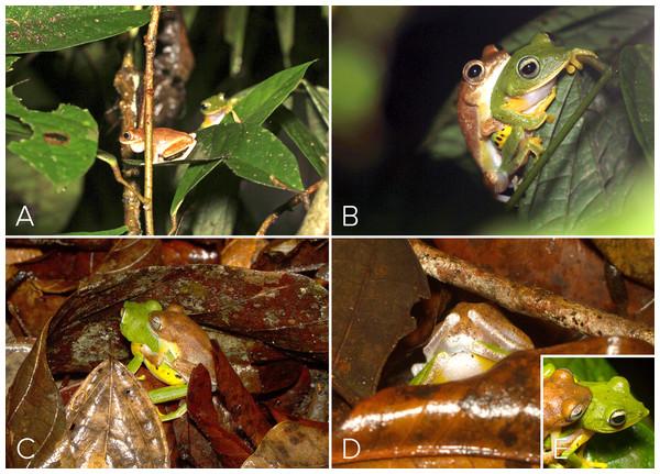 Courtship and amplexus in Mercurana myristicapalustris.