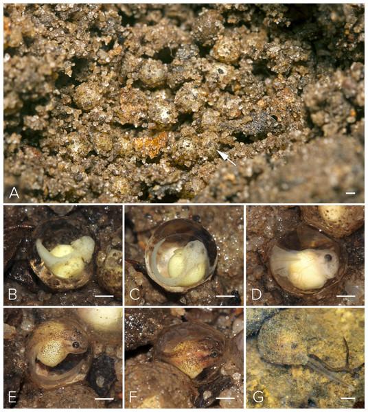 Nest and larval development of Mercurana myristicapalustris.
