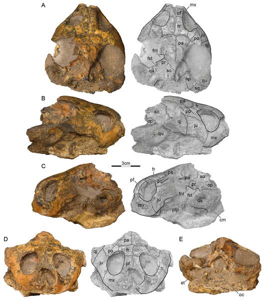 GSI 18133, Piramys auffenbergi, holotype, late Miocene of Piram Island, Gujarat, India.