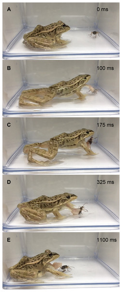 Temporal sequence of the frog Pelophylaxnigromaculatus rejecting a live adult Pheropsophus jessoensis without taking the beetle into its mouth.