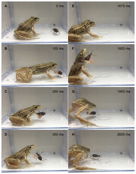 Temporal sequence of the frog Pelophylaxnigromaculatus spitting out a live adult Pheropsophus jessoensis after taking the beetle into its mouth.