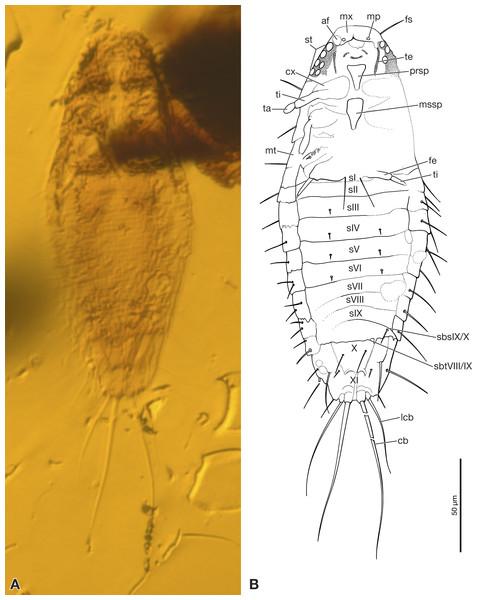 Strepsiptera primary larva in Burmese amber, ventral view.