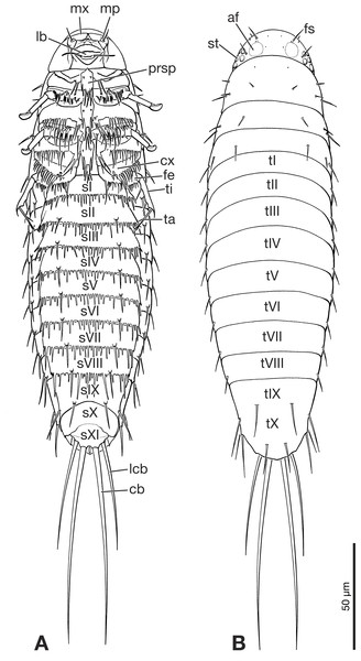 Primary larva of Eoxenos laboulbenei, drawings based on scanning electron micrographs (modified from Pohl (2000)).