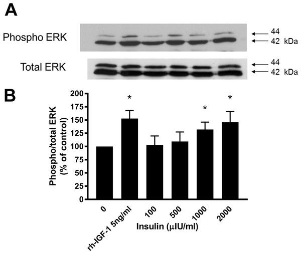 Effect of rhIGF-1 and insulin on ERK1/2 activation in equine lamellar basal epithelial cells.