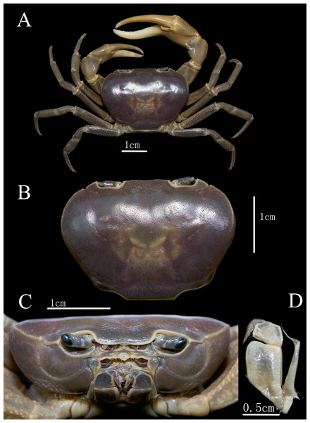 C. maolanense n. sp. Holotype male (35.8 × 25.9 mm) (NCU MCP 196101).