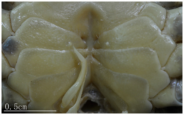 Natural position of male G1 and median longitudinal suture of sternites 7,8 C. maolanense n. sp. Paratype male (32.9 × 25.1 mm) (NCU MCP 196102).