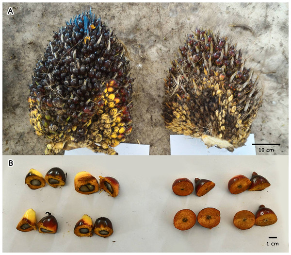 A comparison of oil palm bunches (A) and cross sections of fruits (B) between inflo.1C control fruits (left) and inflo.1T treated fruits (right) showing that the auxin treated fruits displayed 100% parthenocarpy.