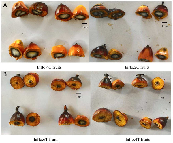A comparison of oil palm fruit cross sections between the control fruits of Inflo.4C and Inflo.2C (A), without auxin treatment, and the auxin treated fruits of Inflo.6T and Inflo.4T, which had 50% and 90% parthenocarpy, respectively (B).
