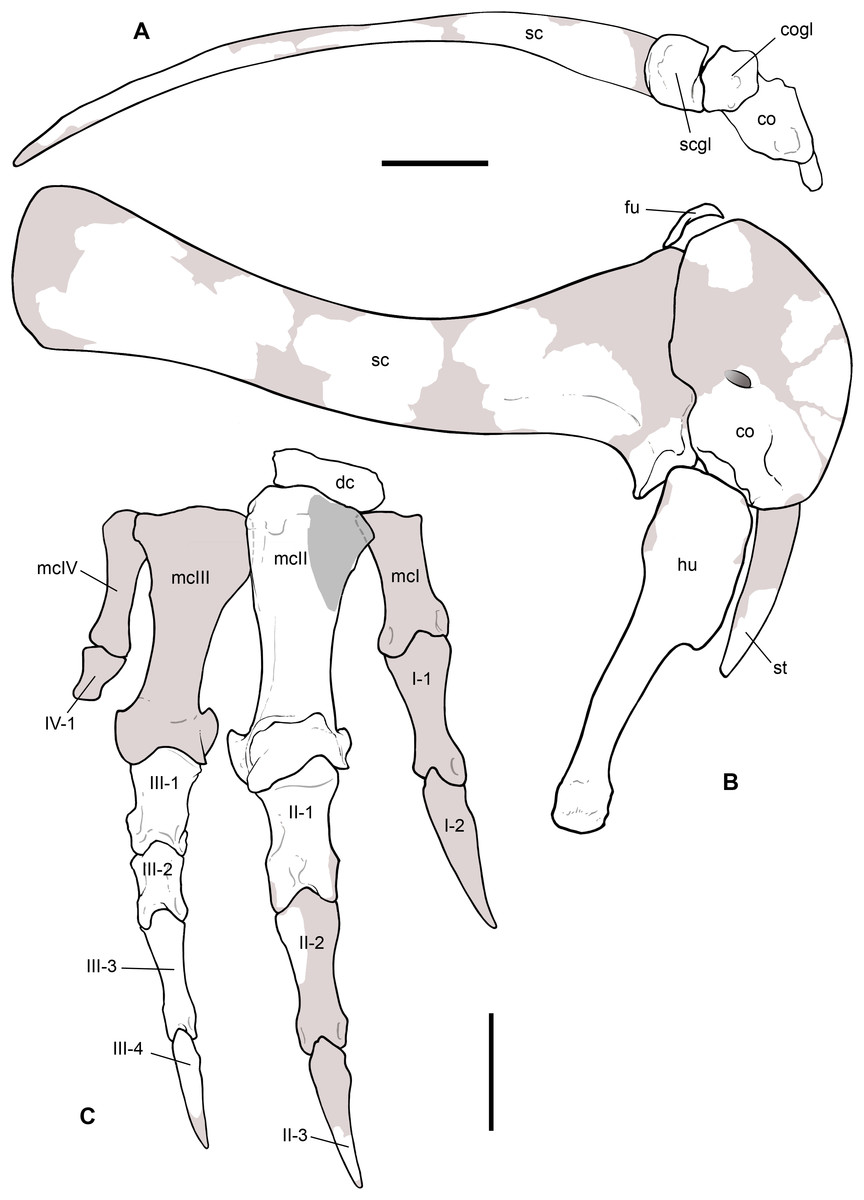 a4a3a81f36bf91 Reconstruction of the pectoral girdle and forelimb of Saltriovenator  zanellai.