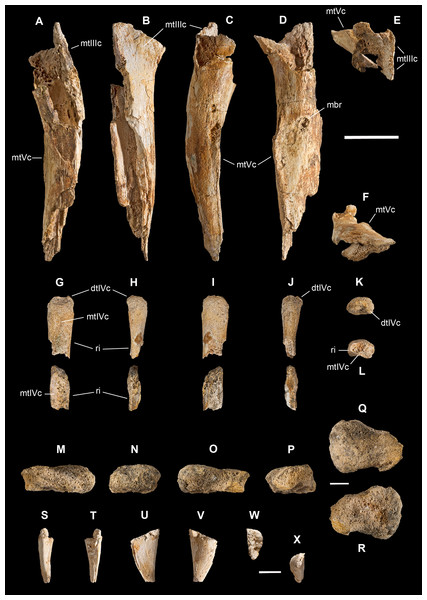 Metatarsals IV and V, carpal and ungual of Saltriovenator zanellai.