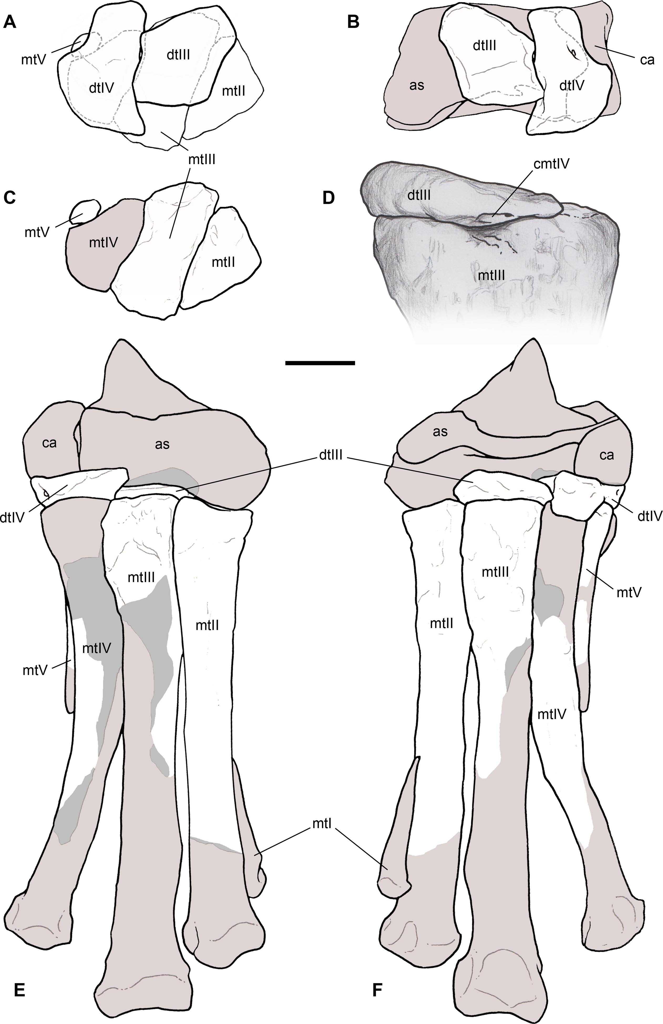 3012481f896c3f The oldest ceratosaurian (Dinosauria  Theropoda)