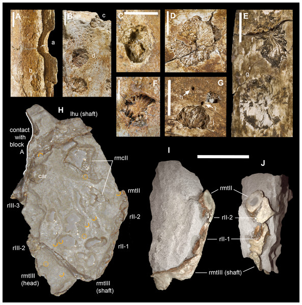 Macroborings, and taphonomy of the Saltrio theropod (block B).